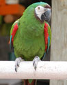 chestnut fronted macaw