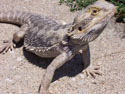 Central or Inland bearded dragon