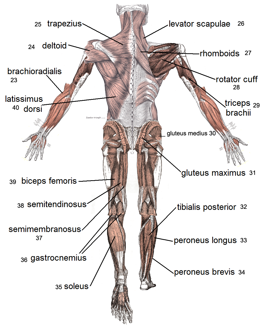 Lost Temple Fitness Anatomy